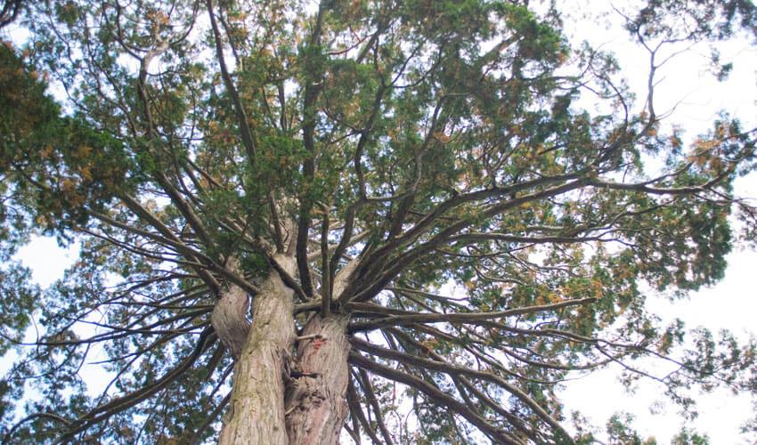 庭木 の 伐採